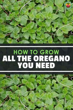 Growing oregano to add spice to your cooking is a great project for beginner gardeners. Our guide walks you through growing healthy plants! Growing Herbs At Home, Growing Vegetables, Organic Gardening, Sustainable Gardening, Vegetable Gardening, Gardening For Beginners, Gardening Tips, Oregano Plant, Herb Garden In Kitchen