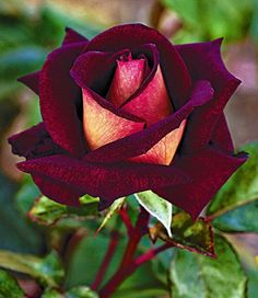 rose - Beautiful                                                       …