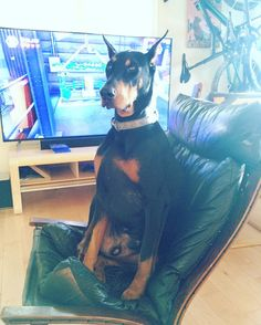 """I'd love to think that if Steve the #doberman had a tinder account his profile pic would look something like this. """"I love riding bikes and am looking for the perfect partner for sniffing butts and playing Lego Jurassic world."""" #stevethedoberman #handsom"""
