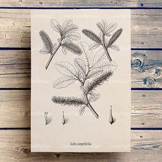 Willow, Graphics, Digital download print, Antique willow print, Tree printable, Willow tree, Botanical print vintage, Illustration JPG PNG