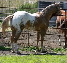 All The Pretty Horses, Beautiful Horses, Beautiful Gorgeous, Big Animals, Animals And Pets, American Quarter Horse, Quarter Horses, Appaloosa Horses, Horse World