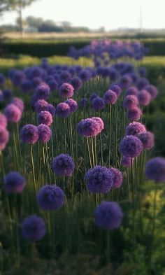 #allium #purple