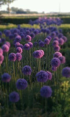 Alliumbollen in voortuin.                                                       …