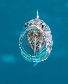 Say aaah. Striped mackerel are filter feeders opening their cavernous mouths as they swim and sieving zooplankton from the water with their gill rakers acting like a net.