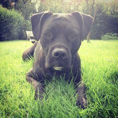 Boxer, Pitbulls, Dogs, Animals, Animales, Animaux, Doggies, Boxers, Pit Bull