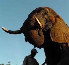 Elephants Understand Humans Says New Research  The new study, published  (Thursday 10 October 2013) by Current Biology, found that elephants are the only wild animals to understand human pointing without any training to do so.