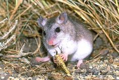 Grasshopper mouse | Science and nature | Pinterest | Grasshoppers ...