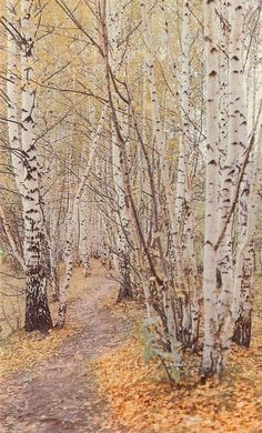 Aspen, Tree Forest, Birch Forest, Forest Path, Walk In The Woods, Plantation, Tree Art, Belle Photo, Pathways
