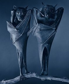 Eygptian Bat by Tim Flach #bat #animal #photography