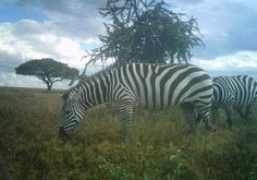 I just classified this image on Snapshot Serengeti!Like a pair of stripy sox..
