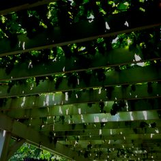 Grape vines over pergola by pool