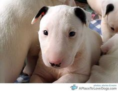 Next big purchase...I will name him Winston or Patton #bullterrier