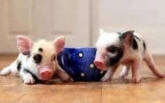 Looking for micro pigs or miniature pigs? You've found the right place! Find micro pig pictures, micro pigs for sale listings, micro pig videos,...