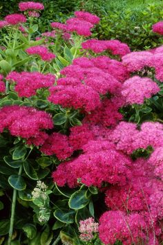 "With thick, waxy leaves, ""stonecrop"" stands out from the average fall-bloomer.  Both tall and low-growing varieties spread quickly, with reddish-pink flowers that attract butterflies."