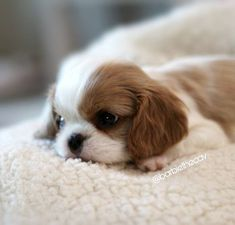 More About Smart Cavalier King Charles Spaniel Personality King Charles Puppy, Cavalier King Charles Dog, King Charles Spaniel, Cute Dogs And Puppies, Baby Puppies, Baby Dogs, Doggies, Spaniel Puppies, Cocker Spaniel