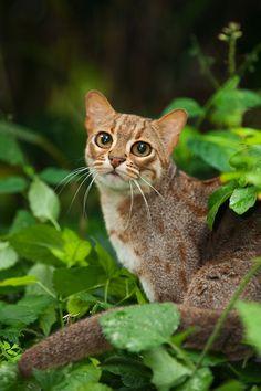 Rusty-spotted cat (Prionailurus rubininosus phillipsi) Sri Lanka. Captive | Terry Whittaker Photography