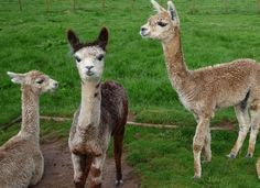 Alpacas At Lochlomond Scotland.