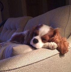 King Charles Puppy, Cavalier King Charles Dog, King Charles Spaniel, Dog Sleeping Positions, Sleeping Dogs, Cavalier King Spaniel, Cute Dogs And Puppies, Doggies, Spaniel Puppies