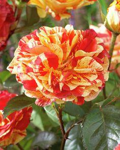 Rose 'Oranges and Lemons' • Rosa 'Oranges and Lemons' • Plants & Flowers • 99Roots.com