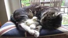 #Cat Falls Asleep With A Chick - #cute
