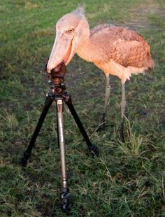 This Shoebill bird knows that the camera is eaten already, now the tripod for desert