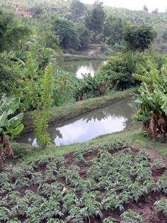 Aquaculture ~ man made fish ponds in Malawi (2008). Photo: Jamie Oliver for WorldFish via Flickr