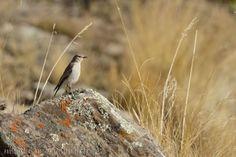 mis fotos de aves   Muscisaxicola juninensis Dormilona Puneña