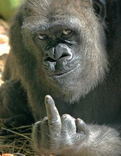 gorilla giving the middle finger lol. his face!