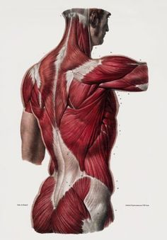 "ML25 Vintage 1800's Medical Human Back Upper Body Muscles Anatomical Anatomy Poster Re-Print - A4 (297 x 210mm) 11.7"" x 8.3"": Amazon.co.uk: Kitchen & Home"