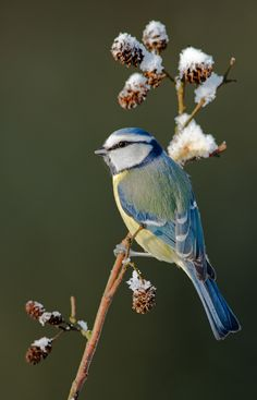 Photograph Blue tit on a twig by Menno Schaefer*