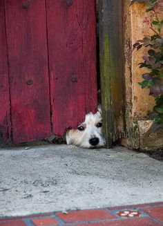 Cutey - little dog peeking under door