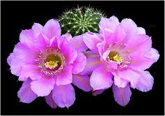 """https://flic.kr/p/bUzuWd   CAC377   Echinopsis hybrid """"Crepe Crusader"""""""