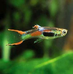 Endlers Livebearer.  These may be the next fish I get.