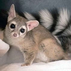 The cacomistle, native to Central America from southern Mexico down to Panama, is a member of the Procyonidae family, otherwise known as the raccoon family (although it also includes kinkajous, olingos, and coatis). It's a very solitary creature, requiring a large territory and rarely interacting with other cacomistles. It mostly lives in the forest canopy, is nocturnal, and is an opportunistic eater, much like its raccoon siblings--it'll eat everything from fruit to insects to bird eggs to…