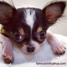 Such a sweet face... /  Great Chihuahua Portrait