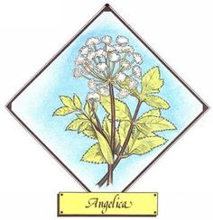 Uses of the Angelica Plant