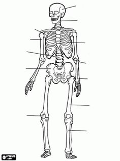 coloring page Human body on Kids-n-Fun. Coloring pages of Human body on Kids-n-Fun. More than coloring pages. At Kids-n-Fun you will always find the nicest coloring pages first! Human Skeleton Anatomy, Human Anatomy, Skeletal System Worksheet, Skeleton Drawings, Human Body Unit, Medical Anatomy, Cool Coloring Pages, Free Coloring, Coloring Book