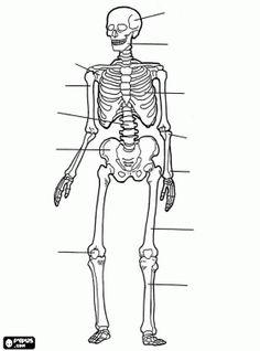 Menselijk skelet. De botten van het menselijk lichaam kleurplaat