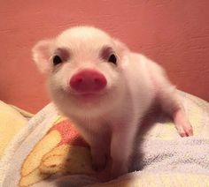 Isn't this the cutest little piglet? Cute Animal Pictures: 150 Of The Cutest Animals! Baby Animals Pictures, Cute Animal Pictures, Animals And Pets, Funny Pictures, Happy Pictures, Animal Pics, Nature Animals, Farm Animals, Cute Little Animals