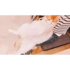❁︎❁︎❁︎ おさえなくてもおとなしく 膝の上で座ってる 笑 ・ ・ #ぬいぐるみ猫 #らいとの開き #猫#ねこ#にゃんこ#cat #NorwegianForestCat #ノルウェージャンフォレストキャット #gato#gatinho#cute#ペット#pet #双子猫#兄弟猫 #にゃんず#にゃんズ #愛猫#溺愛#ねこ部#ふわもこ部 #にゃんすたぐらむ #catstagram#癒し #にゃんだふるらいふ #可愛い#親ばか#猫バカ#love