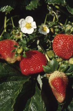 How to Grow Strawberries in Rain Gutters...