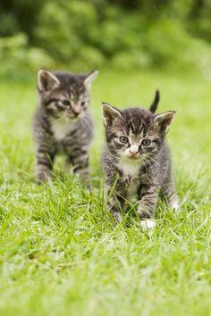 5 Wochen alte Katzenkinder auf einer Wiese