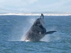 Hermanus is a pretty town at the heart of the Cape Whale Route. Famous for its Whale Festival and land-based whale watching. Hermanus is in the Western Cape of South Africa. Famous Gardens, Top Place, Seaside Towns, Whale Watching, Cape Town, Places To See, South Africa, Tourism, Wildlife