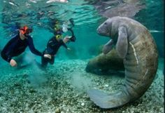Swimming with the manatees in Crystal River