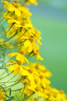 Mexican Daisy Bush by aussiegall