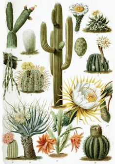 Vintage Cactus, there's actually a cactus plant that has DMT in it but peeps stole most of them, how awesome, I will try Ayahuasca before I die...