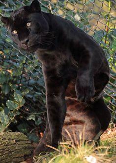 jaguar Mowgli