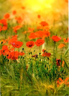 Poppies postcard from Moscow, Russia