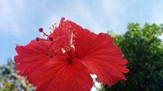 Flor del Mar Pacifico o Hibiscus rosa-sinensis