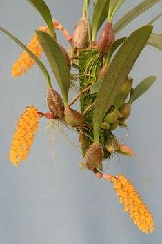 Bulbophyllum tricornoides